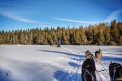 Dogsledding at Winterdance, Haliburton Ontario